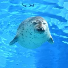 激アツの福岡。ゴマフアザラシのサツキは目を閉じて気持ちよさそうにス~イスイ。 かいじゅうアイランドで一緒に泳いだ気持ちになってくださいね。